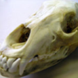 Cool Science for Adults! Join Master Naturalist Pat Milliken for this unique mammal workshop emphasizing the ecological role of PA mammals using skull analysis. Check out various skulls to determine […]