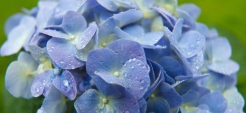 """The Shaler Garden Club invites you to """"Hydrangeas Demystified,"""" presented by Dennis James, owner of DJ Greenhouse. The program starts at 7PM. Contest winners are announced at 6:30PM . The […]"""